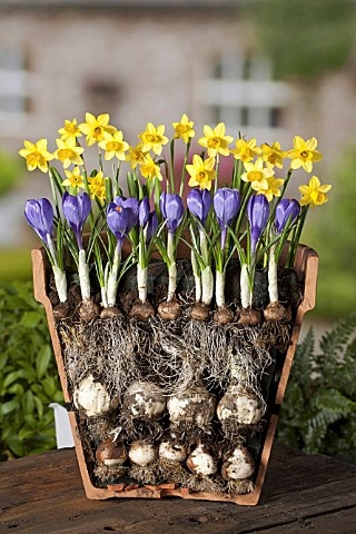 LAYERED BULBS, LASAGNE METHOD OF PLANTING