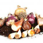 Ghidul incepatorului pentru plantarea bulbilor
